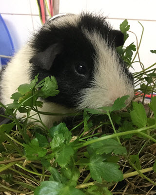 Austin the Guinea Pig 1